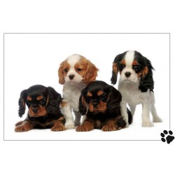 4 chiots cavaliers King Charles au coeur tendre