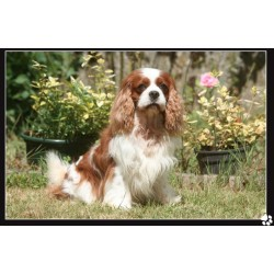 Cavalier king Charles sur un air de printemps