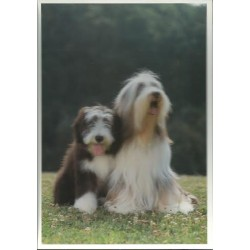 Carte postale bearded collie