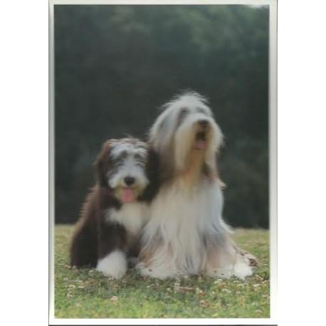 Carte postale bearded collie