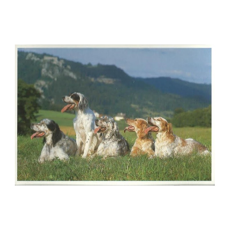 AnimalBazar : Carte postale setter anglais