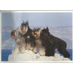 Carte postale schnauzer