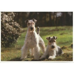 Carte postale fox terrier