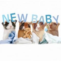 Carte postale représentant un cochon d'Inde baby boys