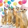 Carte postale représentant la suricates party