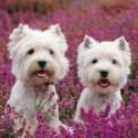 Carte postale représentant deux westies dans les fleurs