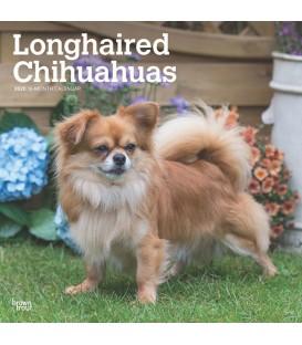 Chihuahua poil long 2020