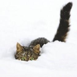 """10 Cartes de Noël """"chat dans la neige"""" et leurs enveloppes"""